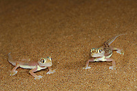 Web-footed Geckos (Palmatogecko rangei) on a sand dune, Namib Desert, Namibia