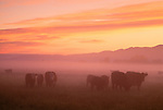 Cattle at sunset, Montana
