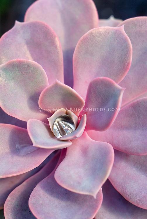 ECHEVERIA PERLE VON NURNBERG, pink succulent rosettes