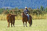 Cowboy herding cows