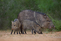 650520322 wild javelinas or collared peccaries dicolytes tajacu forage near a waterhole on santa clara ranch in starr county rio grande valley texas united states