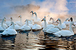 Whooper swans (Cygnus cygnus), Hokkaido, Japan<br /> Whooper swans flock near thermal springs for warmth.  They migrate thousands of miles from their subarctic Eurasian breeding grounds in more southerly climes.