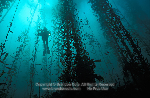 Diving California Kelp Forest in Kelp Forest California