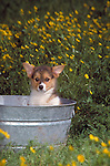 Pembroke Welsh Corgi puppy in a tin wash tub surrounded by dandilions Shopping cart has 3 Tabs:<br /> <br /> 1) Rights-Managed downloads for Commercial Use<br /> <br /> 2) Print sizes from wallet to 20x30<br /> <br /> 3) Merchandise items like T-shirts and refrigerator magnets
