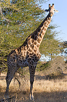South African Giraffe, Kruger NP, SA