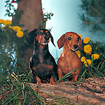 Dachshund<br /> <br /> <br /> <br />  Shopping cart has 3 Tabs:<br /> <br /> 1) Rights-Managed downloads for Commercial Use<br /> <br /> 2) Print sizes from wallet to 20x30<br /> <br /> 3) Merchandise items like T-shirts and refrigerator magnets