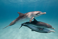 RW4570-D. Atlantic Spotted Dolphins (Stenella frontalis) swimming together.   Appearance varies greatly between different stocks throughout their range, and based on age. In general, a calf is born unspotted, and as it matures spots develop and increase. Bahamas, Atlantic Ocean.<br /> Photo Copyright &copy; Brandon Cole. All rights reserved worldwide.  www.brandoncole.com