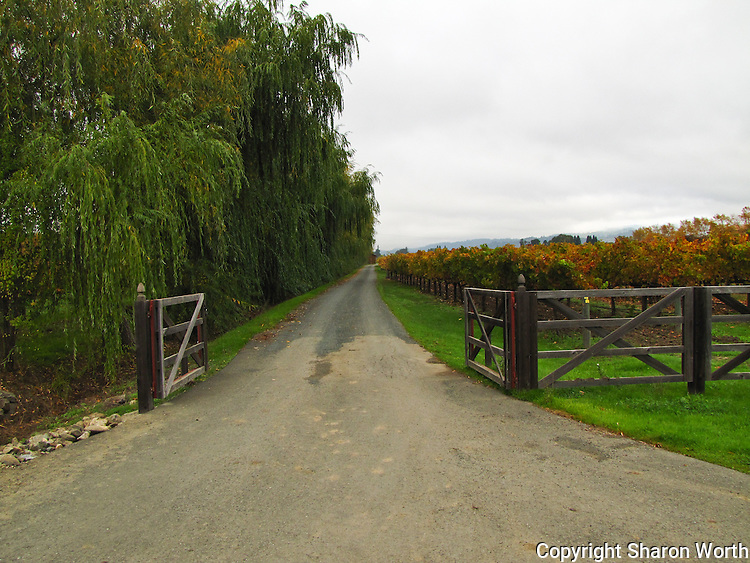 Trees to the left, vines to the right - an open gate and a welcoming lane in Napa Valley, wine country.