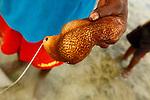 A man show a sea cucumbers he collected in the village of Hessessai Bay at PanaTinai (Panatinane)island in the Louisiade Archipelago in Milne Bay Province, Papua New Guinea.  The island has an area of 78 km2..The Louisiade Archipelago is a string of ten larger volcanic islands frequently fringed by coral reefs, and 90 smaller coral islands located 200 km southeast of New Guinea, stretching over more than 160 km and spread over an ocean area of 26,000 km? between the Solomon Sea to the north and the Coral Sea to the south. The aggregate land area of the islands is about 1,790 km? (690 square miles), with Vanatinai (formerly Sudest or Tagula as named by European claimants on Western maps) being the largest..Sideia Island and Basilaki Island lie closest to New Guinea, while Misima, Vanatinai, and Rossel islands lie further east..The archipelago is divided into the Local Level Government (LLG) areas Louisiade Rural (western part, with Misima), and Yaleyamba (western part, with Rossell and Tagula islands. The LLG areas are part of Samarai-Murua District district of Milne Bay. The seat of the Louisiade Rural LLG is Bwagaoia on Misima Island, the population center of the archipelago.PanaTinai (Panatinane) is an island in the Louisiade Archipelago in Milne Bay Province, Papua New Guinea. The island has an area of 78 km2..The Louisiade Archipelago is a string of ten larger volcanic islands frequently fringed by coral reefs, and 90 smaller coral islands located 200 km southeast of New Guinea, stretching over more than 160 km and spread over an ocean area of 26,000 km? between the Solomon Sea to the north and the Coral Sea to the south. The aggregate land area of the islands is about 1,790 km? (690 square miles), with Vanatinai (formerly Sudest or Tagula as named by European claimants on Western maps) being the largest..Sideia Island and Basilaki Island lie closest to New Guinea, while Misima, Vanatinai, and Rossel islands lie further east..The archipelago is divided into the