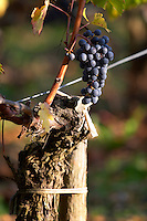 grape bunch and old vine chateau fieuzal pessac leognan graves bordeaux france