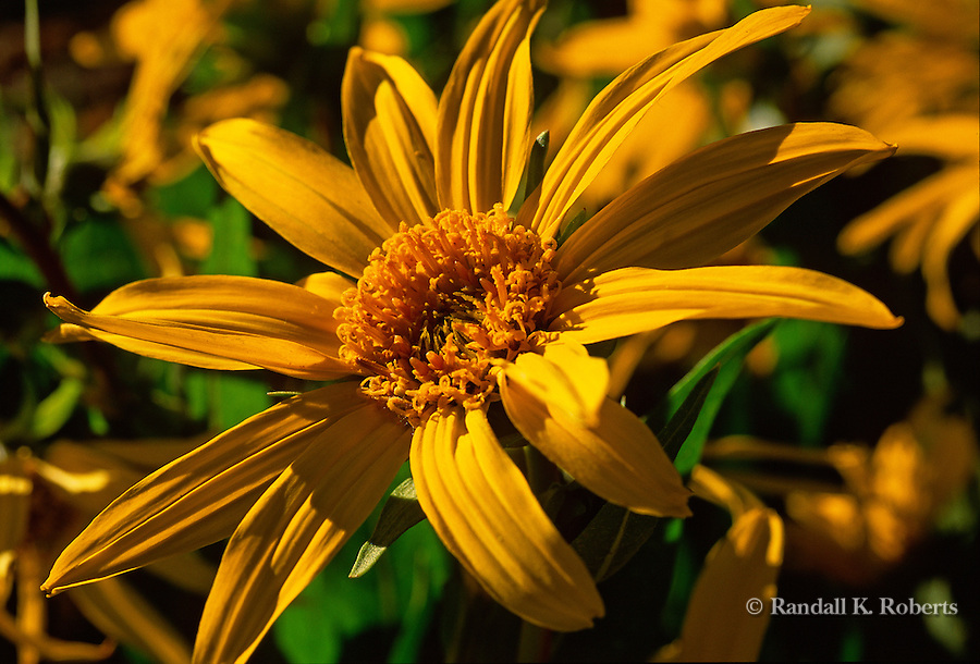 Sunflower soaks up the early morning sun, Kebler Pass, near Crested Butte, Colorado.