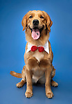 Portrait of Golden Retriever wearing a bow sitting and looking at the camera. Isolated on blue background. China - Gray Valley Kennels - Toronto.