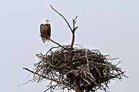 Bald Eagle with Nest