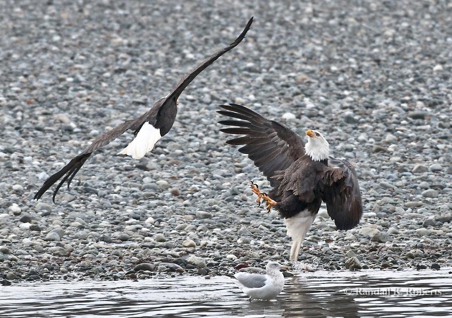 Bald eagles fight over salmon, Chilkat Bald Eagle Preserve, Haines, Alaska