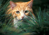 Hawaii, cat in grass.  PR available.<br />