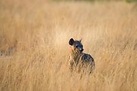 Spotted Hyena, Crocuta crocuta, Queen Elizabeth National Park, Uganda, East Africa