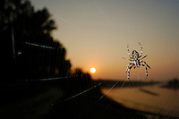 The last sun rays of the day shining on a Bridge Spider  (Larinioides sclopetarius) on its web, Ticino River, Italy.