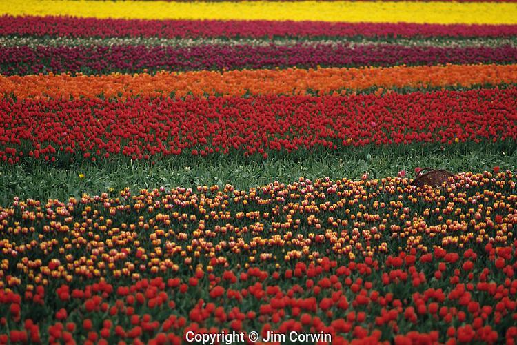 Multi-colored tulip fields with basket Skagit County near Mount Vernon Washington State USA
