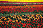 Multi-colored tulip fields with basket Skagit County near Mount Vernon Washington State USA
