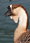 Goose with large nob & dewlap, Irvine CA.