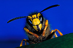 Tree Wasp, Vespula sylvestris - close up of head, antenna, jaws, yellow, legs, compound eyes.insect  .United Kingdom....