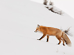 An individual red fox walks along a snowy hillside in Yellowstone National Park.