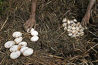 Aboriginals collect crocodile eggs to stay in touch with their culture.<br /> I've never hunted for crocodile eggs with aborigines, and no matter how many times you ask how the scenario will play out, you really don't know what it will be like.  <br /> The first day we had gathered 140 eggs from 3 nests and the croc had slithered off before we got there.  Aborigines just use a big stick or paddle to defend themselves from charging crocodiles and the first day there were two men armed with sticks.  As we walked toward the nest I patted their shoulders and told them I was standing behind them and they had to protect me.  They monitored my movements and kept themselves between me and the nest.  <br /> The next day the sticks were manned by kids.  There were no eggs in the first nest we found.  And no longer had a croc guarding it.  When we came up on the second nest the boat ran up against a log and we all had to jump out into the water to get to land.  <br /> Carrying cameras always puts you a couple of steps behind everyone else.  When I jumped into the water, the kids with sticks were already a couple of yards in front of me.  The only thing I really remember after that is seeing this huge gaping mouth of a crocodile coming right at me.  I knew they could run fast but I remember thinking &quot;how do they see where they're going with all those teeth lifted up in front of their eyeballs?&quot;  <br /> The boys were far enough ahead that they could run to the right.  The crazed animal only had one brain loop operating at that moment. It wanted to get to the water. I was still in the watery rut at the edge of the river and the only thing in its way. <br /> I had two options: jaws or water.  In panic mode, I chose the water option. The real fear came one second later realizing I am in water with an angry crocodile.  There is some discrepancy about the size of the crocodile.  Rule of thumb is that an 8 foot crocodile can take a man if they are both in the water.  Estimat
