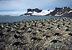 chinstrap penguin colony at Hannah Point