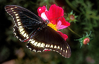390480001 a captive polydamas swallowtail butterfly battus polydamas feeds on a bright red wildflower in a southern california butterfly garden