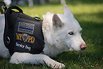 Westbury, New York, USA. June 12, 2016. MISKA, an NYPD (New York Police Department) Service Dog trained to help American veterans, attends the Antique and Collectible Auto Show at the 50th Annual Spring Meet at Old Westbury Gardens, in the Gold Coast of Long Island. Miska is part Husky and part German Shepherd, and has light blue eyes and white fur, and was with Pastor Green, of U.S. Marines, from Queens. The car show was sponsored by Greater New York Region, GNYR, Antique Automobile Club of America, AACA.