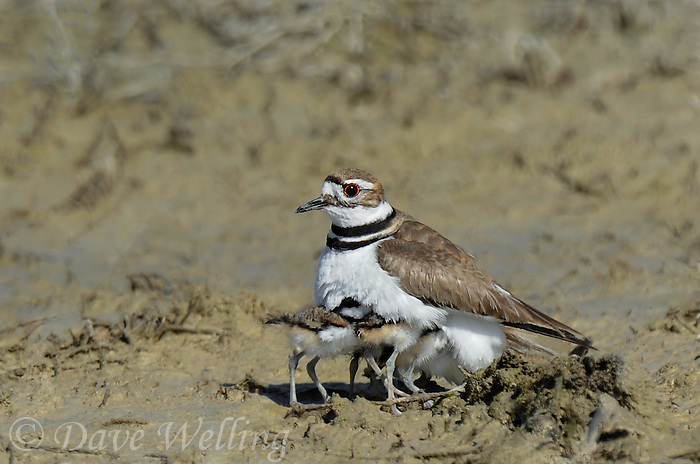 554550032 a wild adult killdeer charadrius vociferous provides protection for its very young chicks in a dry lake bed in ventura county california united states