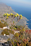 Africa, South Africa, Cape Town. Table Mountain flora and vista.