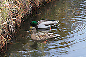Female  and male  Mallard duck feeding on ruffage along edge  of  lake in fall. Mallard ducks are one of the most commonly-known duck species