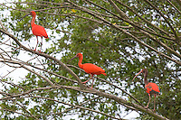 Three Scarlet Ibis (Eudocimus ruber) in the mangrove swamps. Juveniles have grey plumage. The rare bird has become a symbol of regeneration in Cubatão