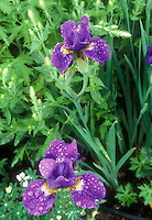 Iris setosa with rain droplets on flowers in spring