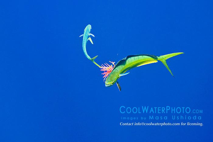 Free swimming mahi mahi, common dolphinfish or dorado, Coryphaena hippurus, attacking the trolling jet lure which is hooked on the other mahi mahi, Kona Coast, Big Island, Hawaii, Pacific Ocean