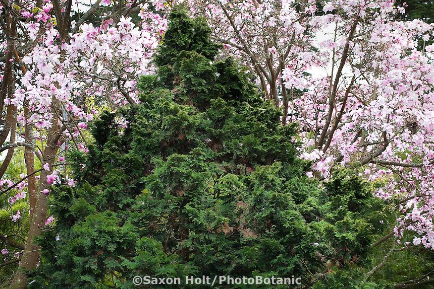 Chamaecyparis obtusa 'Verdoni', Verdoni Hinoke False cypress, fully grown pyramid shape dward conifer in San Francisco Botanical Garden with magnolia trees