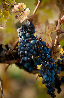 Brunch of grapes at Palazzone vineyard, near Orvieto, Umbria, Italy