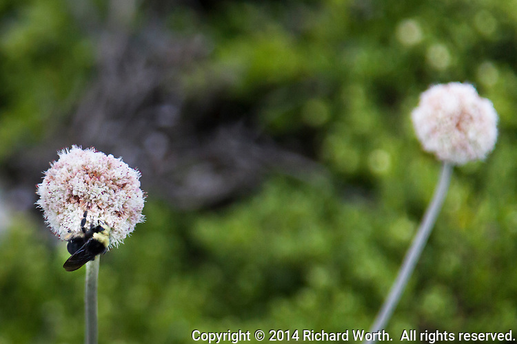 A pink and white ball of Coast buckwheat is visited by one of nature's pollinators at Bean Hollow State Beach on the California coast.