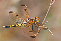 379020002 a wild male calico pennant celithemis elisa perches on a grass stem near boykin spring in jasper county texas united states