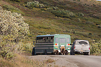 A family of grizzly bears, a sow and two spring cubs, walk along the Denali Park road, while visitiors watch from a park bus.