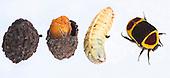 Sun Beetle developmental stages (Pachnoda butana)