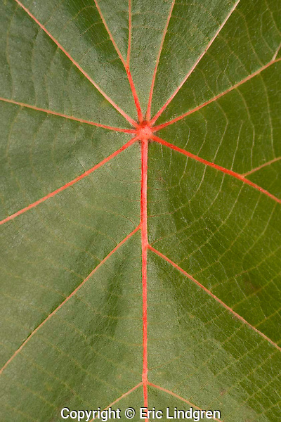The contrast of the red venation and the clear green blade on the leaves of a Macaranga tree results in an almost symmetrical pattern. A common park tree in Brisbane, Queensland.    //   Macaranga - Euphorbiaceae: Macaranga tanarius. About 24 similar-looking species in the genus. A small large-leafed (length to 40cm) tree growing to about 6m,  Macaranga is a component in the early succession of the re-establishment of tropical and sub-tropical rainforests.  It is one of the initial group of fast-growing species that quickly fill the void when a break occurs in the canopy of the forest and sunlight penetrates directly to the ground. Fast-growth = short life-span, and Macaranga quickly disappears as the longer-lived components of the mature rainforest return. In Australia M. tanarius occurs in sub-tropical and tropical lowland rainforest near the coast from  New South Wales north through Queensland to the Northern Territory. Also in lowland rainforests of New Guinea, west through Indonesia to south-east Asia and Africa, and east to the south-west Pacific islands of Melanesia.  //