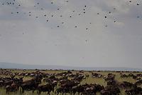 Wildebeest at Grumeti Reserves