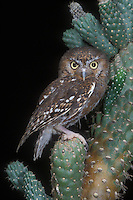 Elf Owl (Micrathene whitneyi) perching on cactus