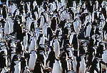 Chinstrap Penguin colony, South Georgia Island