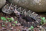 South American Rattle Snake, Crotalus durissus, venomous rattlesnake species found in South America, Costa Rica, poisonous, aggressive, defensive pose, tail rattling, noise, noisy.Central America....