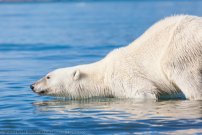 Polar bear swims in the arctic waters off Svalbard