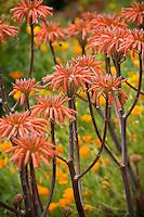 Flowering orange Aloe saponaria succulent in garden