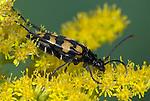 Beetle, Strangalia maculata, on leaf, black and yellow, UK